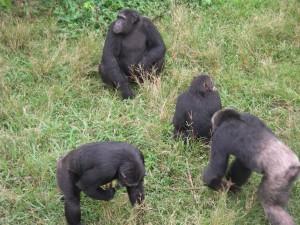 Chimpanzees in the Ngamba Island Chimpanzee Sanctuary