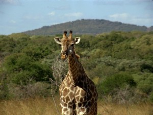 A Rothschild Giraffe in Murchison Falls National Park