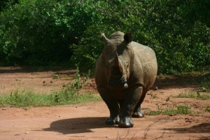 A Rhino in the Ziwa Rhino Sanctuary