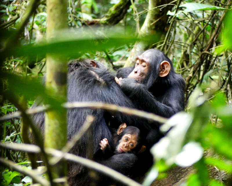 2 Days Chimpanzee tracking Kibale forest
